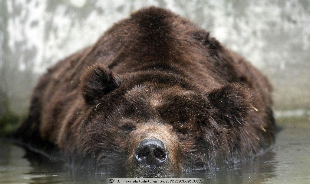 棕熊 野生 动物 非人工驯养 濒危野生动物 物种保护 野生动物系列三