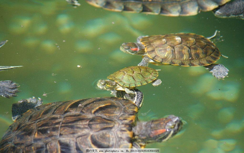 乌龟 爬行动物 爬行纲 龟鳖目 海洋生物 生物世界 摄影