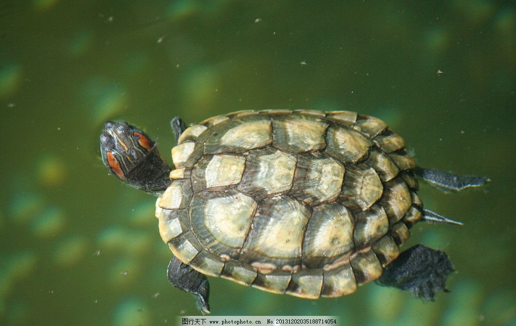 乌龟 爬行动物 爬行纲 龟鳖目 摄影
