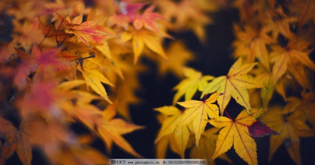 秋天枫叶 风景 摄影 效果 背景 虚化
