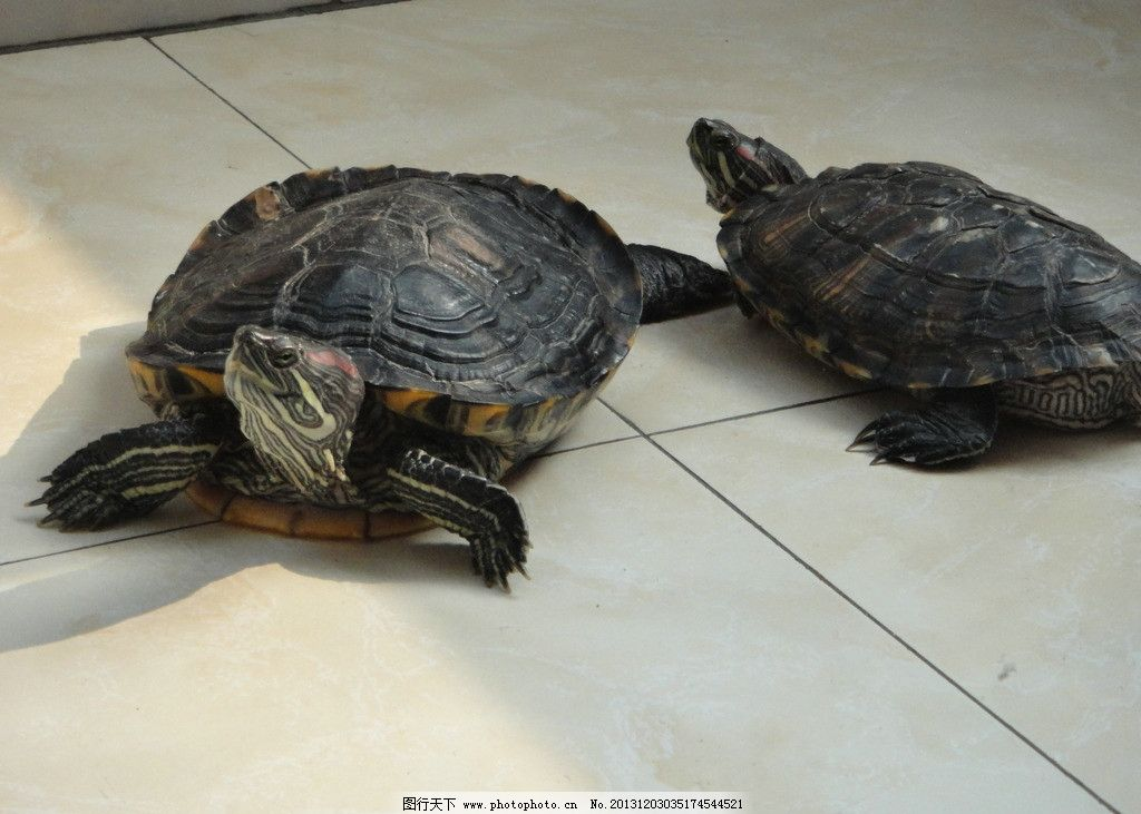 乌龟 暗色 爬行 野生动物 摄影