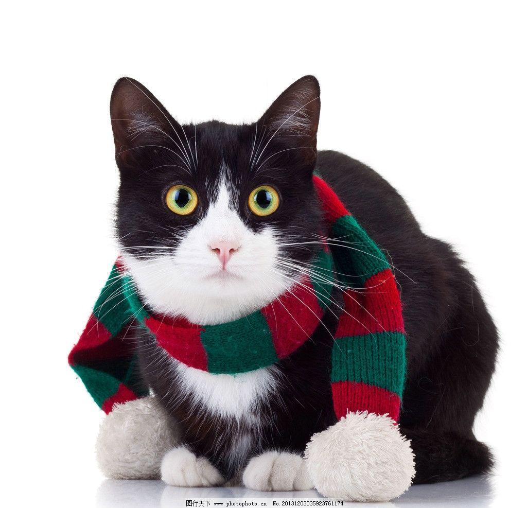 可爱猫咪 猫咪 宠物 猫 围巾 摄影 家禽家畜 生物世界 300dpi jpg