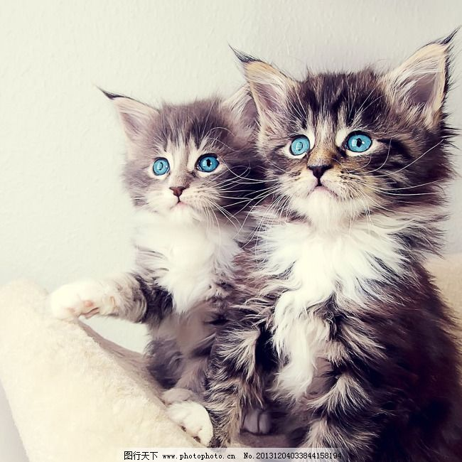 两只小猫免费下载 可爱 猫 守望 猫 萌猫 可爱 蓝眼的猫 守望 图片
