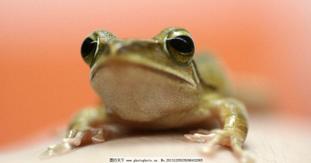 青蛙 爬行动物 两栖动物 趴着的青蛙 动物 野生动物 生物世界 摄影