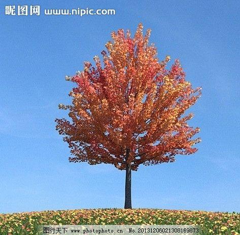 壁纸 枫叶 红枫 树 473_464图片
