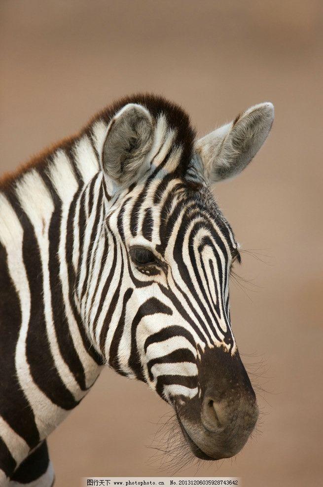 斑马 马 马儿 动物 黑白条纹 野生动物 大自然 动物世界 家禽家畜