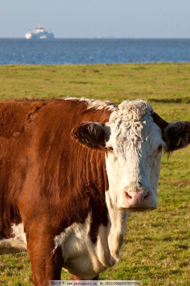 牛儿 牛 奶牛 动物 野生动物 大自然 动物世界 大草坪 家禽家畜 生物