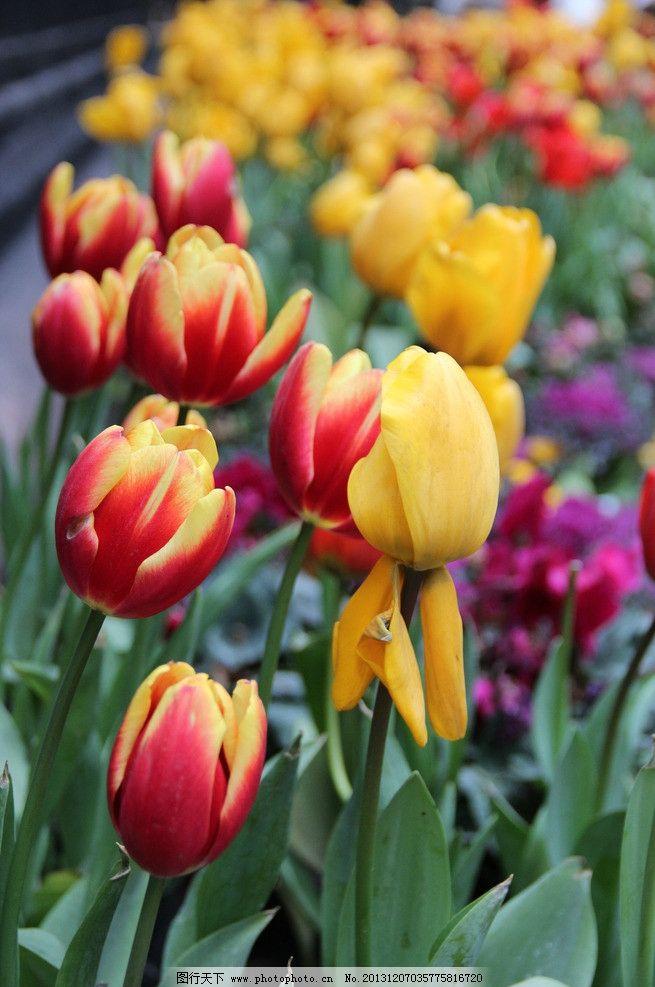 郁金香 花 植物图片