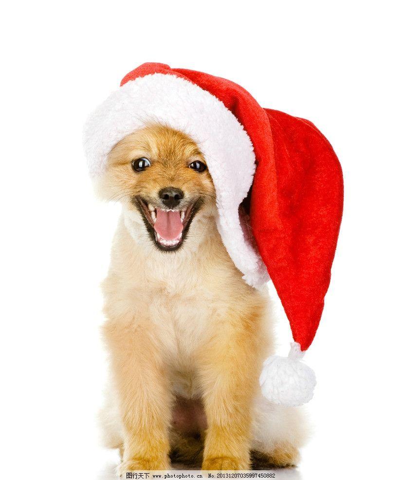 可爱圣诞狗狗 可爱 圣诞狗狗 萌狗狗 小狗 宠物 萌宠 圣诞帽 圣诞节