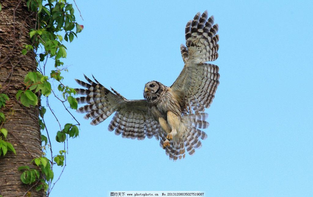 猫头鹰 野生 动物 非人工驯养 濒危野生动物 物种保护 野生动物系列四