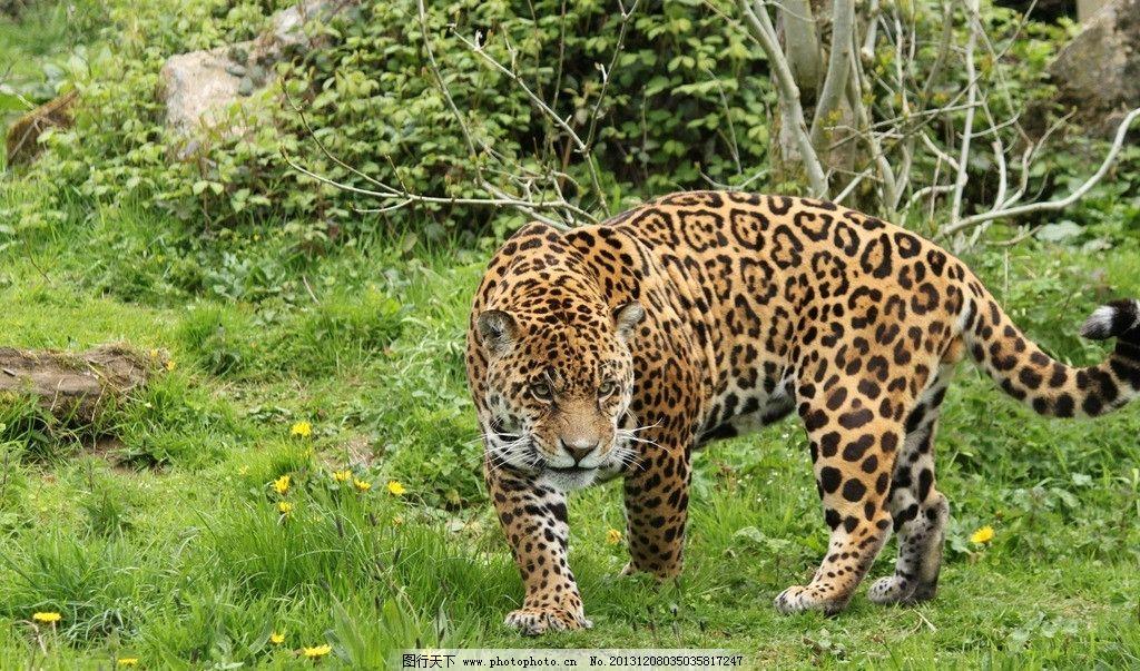 花豹 野生 动物 非人工驯养 濒危野生动物 物种保护 野生动物系列四