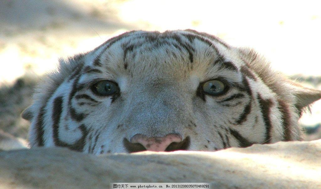 老虎 野生 动物 非人工驯养 濒危野生动物 物种保护 野生动物系列四