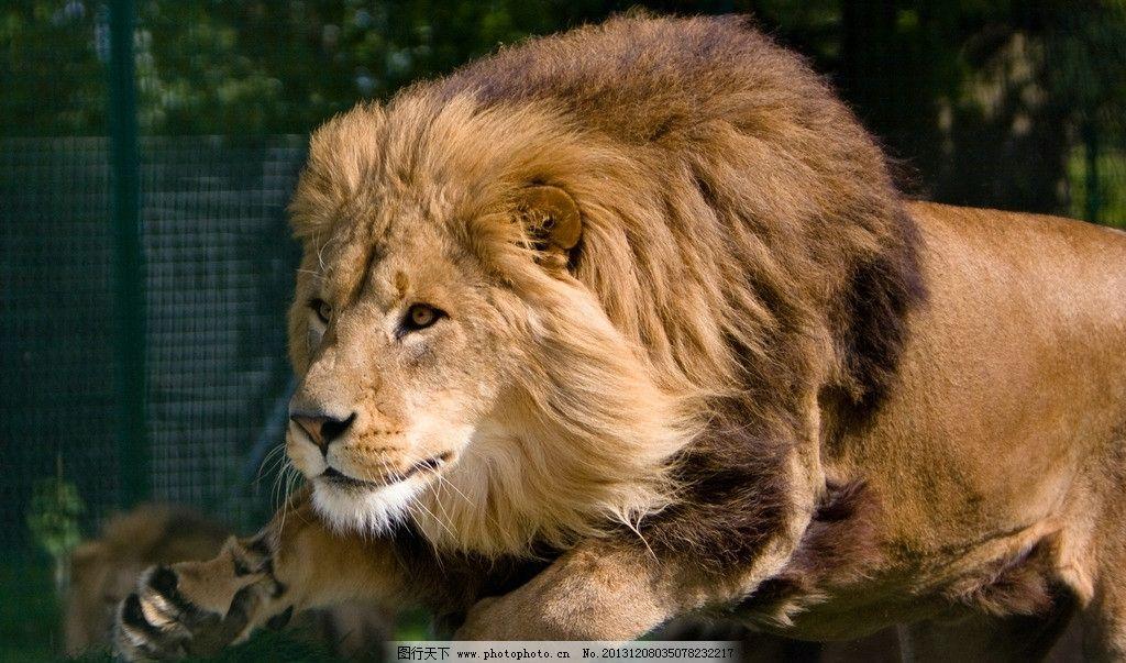 老虎狮子谁是百兽之王