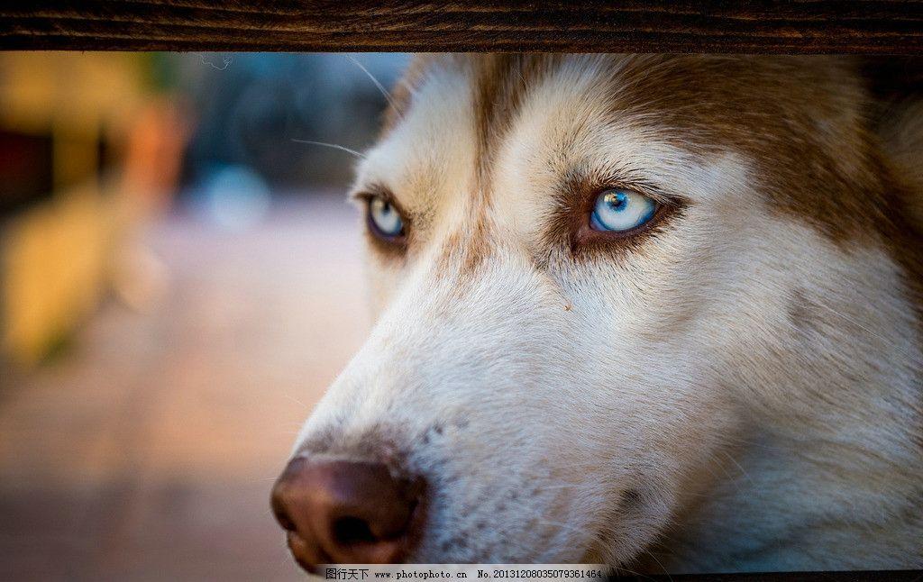 豺狼 野生 动物 非人工驯养 濒危野生动物 物种保护 狼 野生动物系列