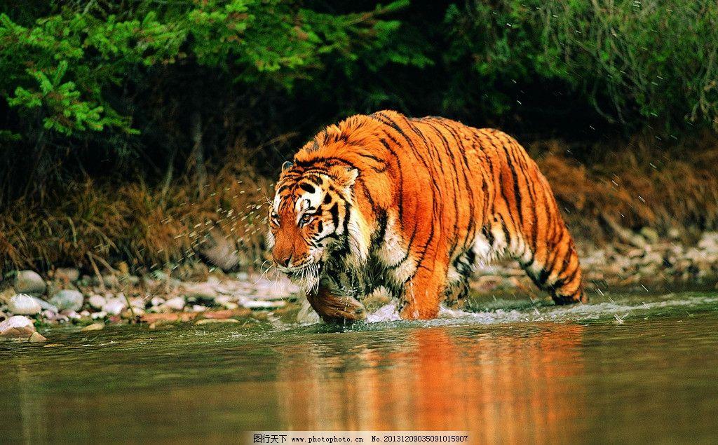 虎 东北虎 华南虎 野生动物 一级保护动物 生物世界 摄影 300dpi jpg