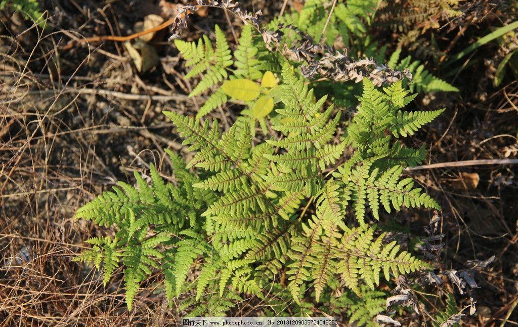 蕨植物图片