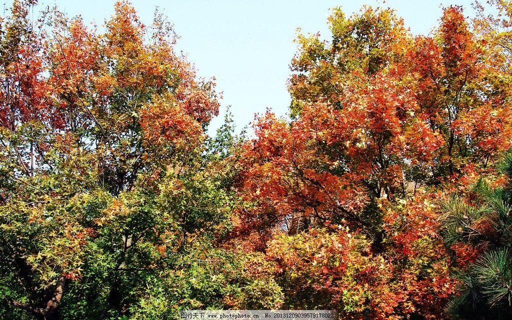 北京植物园秋色 植物园 秋天 树木 红叶 蓝天 北京植物园 园林建筑
