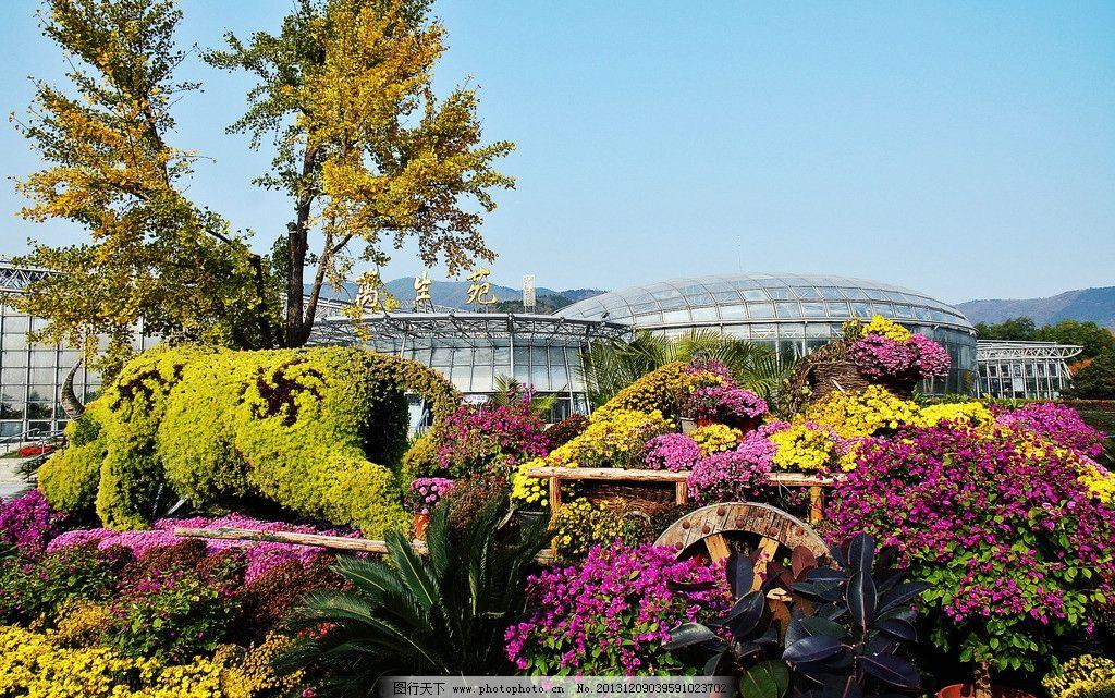 北京植物园秋色 植物园 秋天天 花坛 秋菊 三叶梅 草雕牛 蓝天 北京