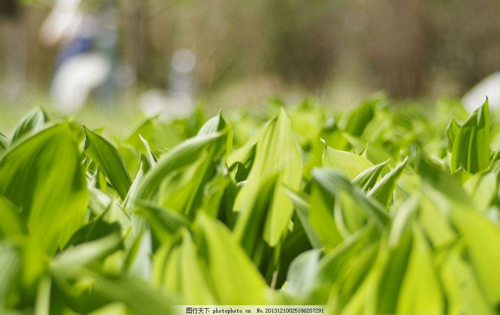 绿叶草丛 兰花 阔叶 铃兰 绿色 北京 植物园 春天 摄影图片