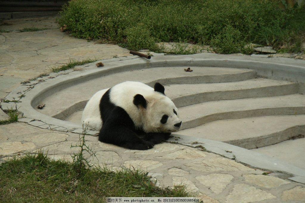 大熊猫 熊猫 森林 动物园 阶梯 野生动物 生物世界 摄影 72dpi jpg