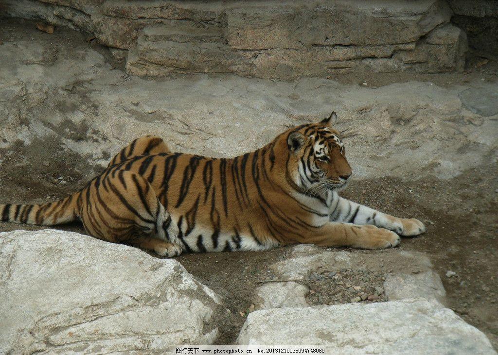 东北虎 动物 野生 森林 动物园 野生动物 生物世界 摄影 72dpi jpg