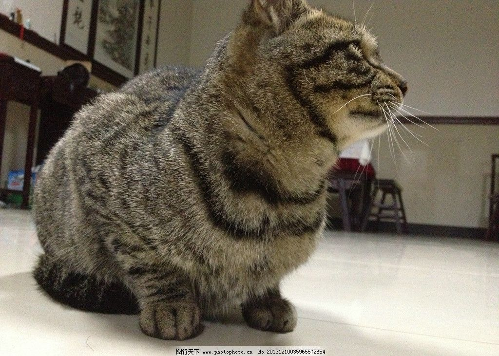 猫咪 猫 小猫 花猫 动物 宠物猫 喵星人 可爱 萌 家猫 家禽家畜 生物