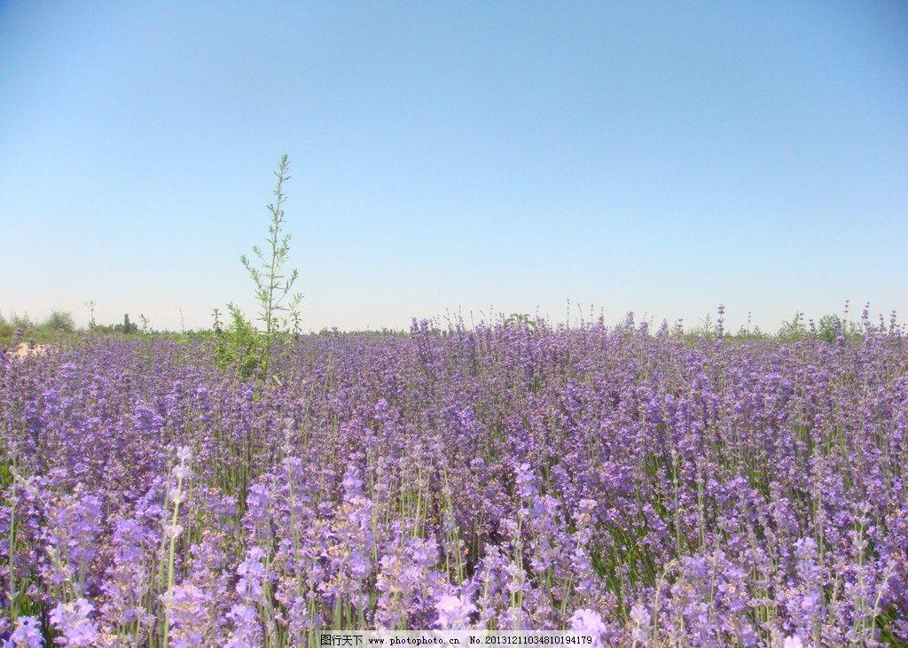 伊犁/伊犁薰衣草种植园图片