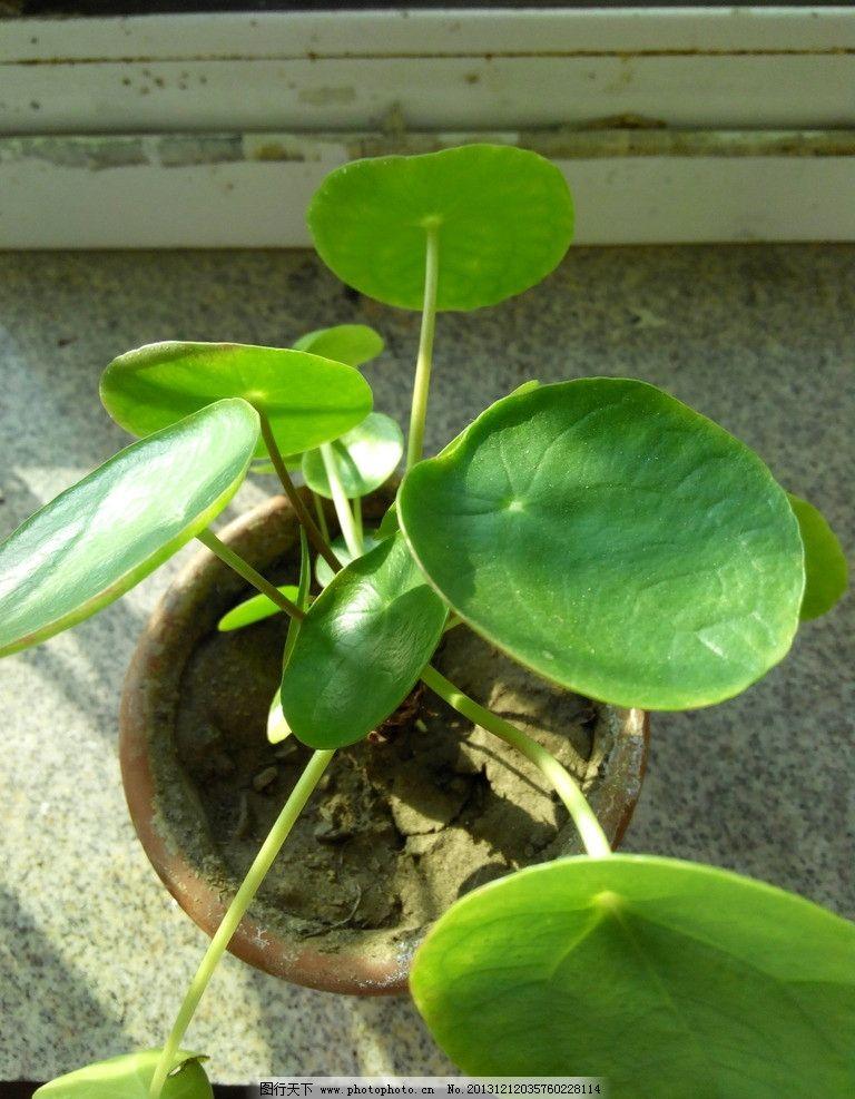 金钱树 绿色 圆宝形叶片 盆栽植物 生物世界 花草 摄影 72dpi jpg