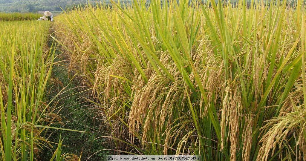 稻谷 水稻 禾穗 谷物 禾苗 丰收 稻田 金黄 绿色 田园风光 自然景观