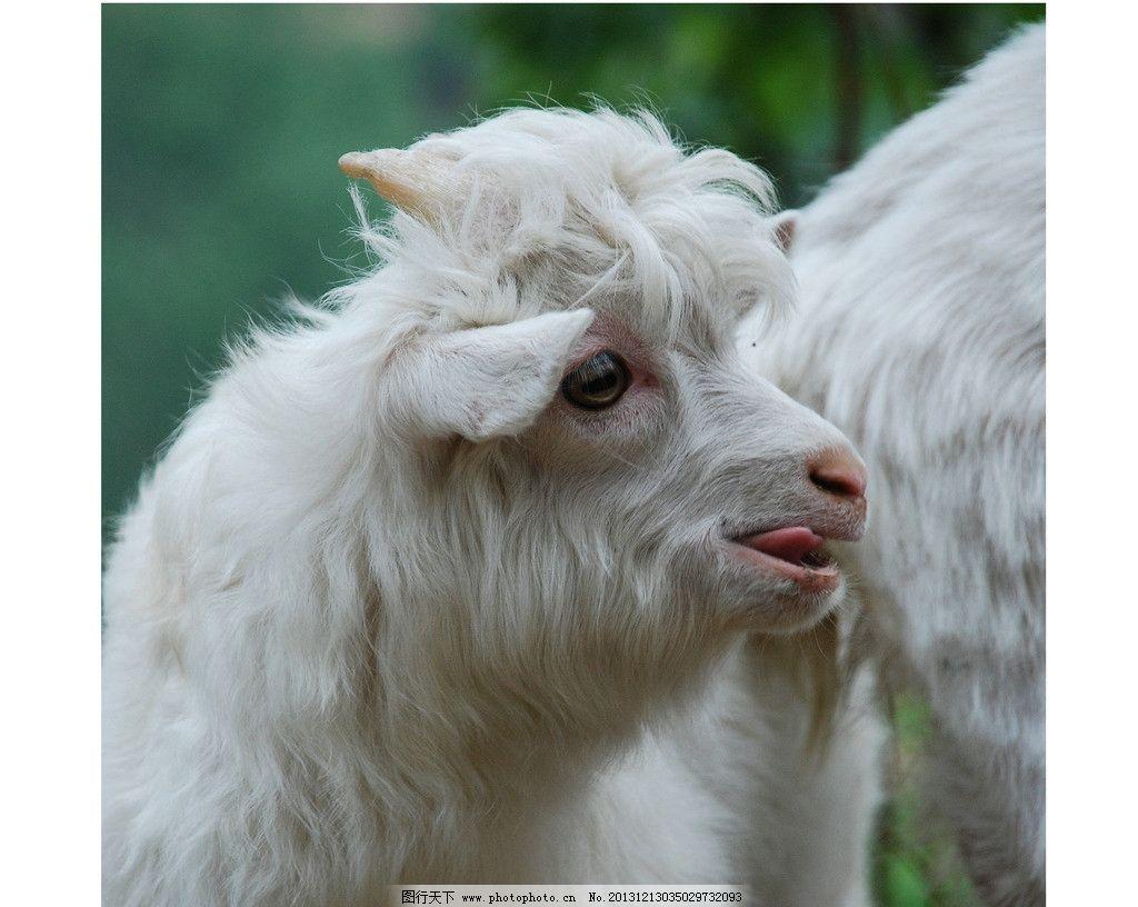 山羊 羊 绵羊 小羊 白羊 羊羔 羔羊 羊毛 动物 野生动物 生物世界