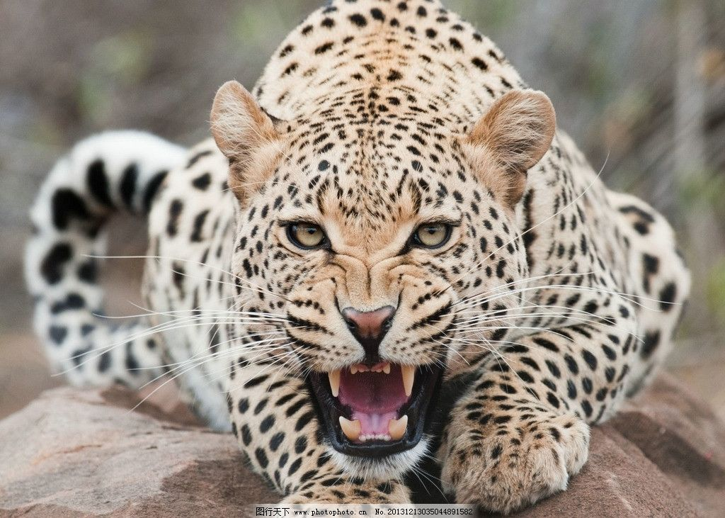 豹子 豹子图片素材下载 野生 动物 非人工驯养 濒危野生动物 物种保护