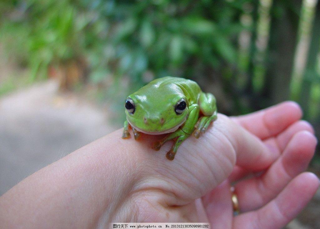 动物 青蛙 绿色动物 美丽动物 蛤蟆 野生动物 生物世界 摄影 72dpi