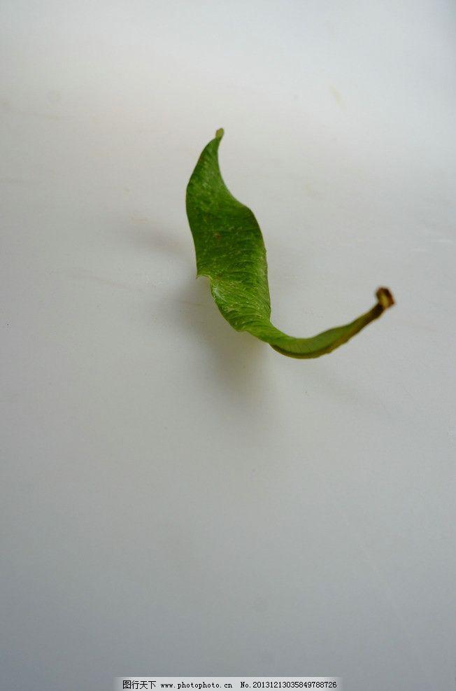 叶子 清晰 绿色 干枯 标本 树木树叶 生物世界 摄影 350dpi jpg图片