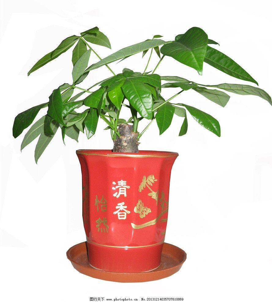 小发财树 发财树 盆栽 树叶 绿叶 叶子 绿色植物 花盆 花草 生物世界