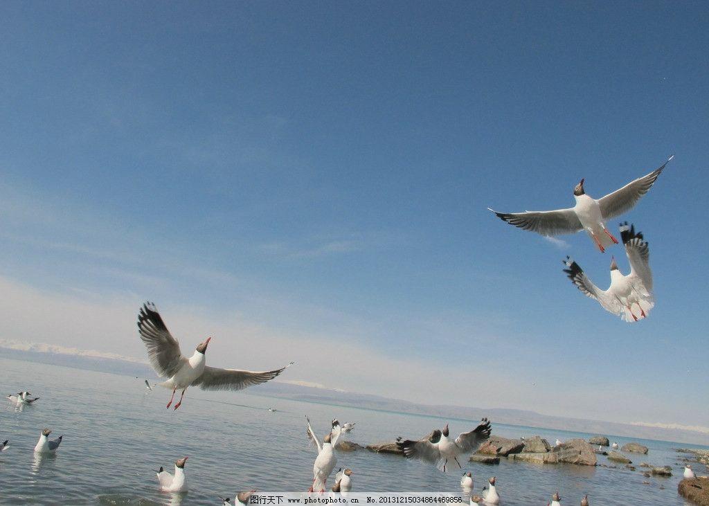 飞鸟 海鸥 湖泊 湖水 鸟 候鸟 摄影图 自然风景 自然景观 摄影 180dpi