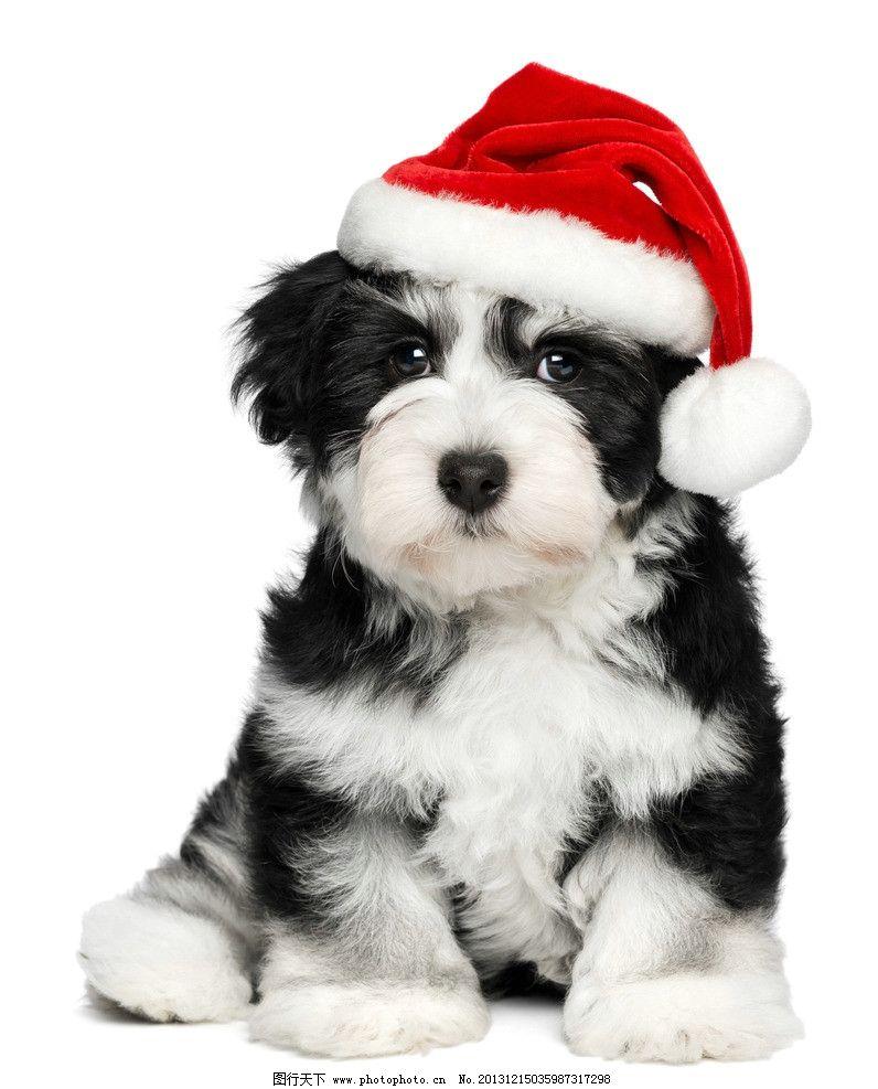圣诞狗狗 圣诞节 小狗 萌狗狗 萌宠 宠物 可爱 圣诞帽 动物