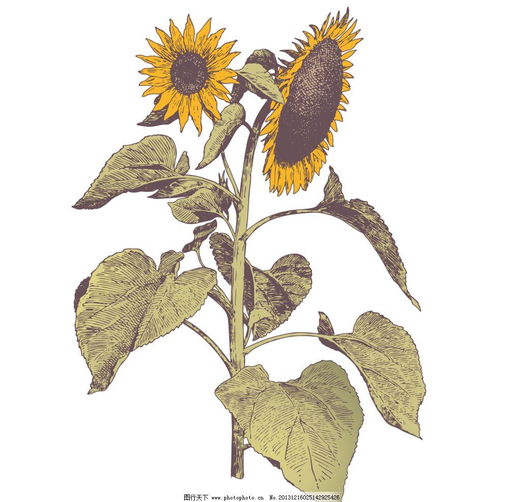复古手绘花卉 向日葵图片