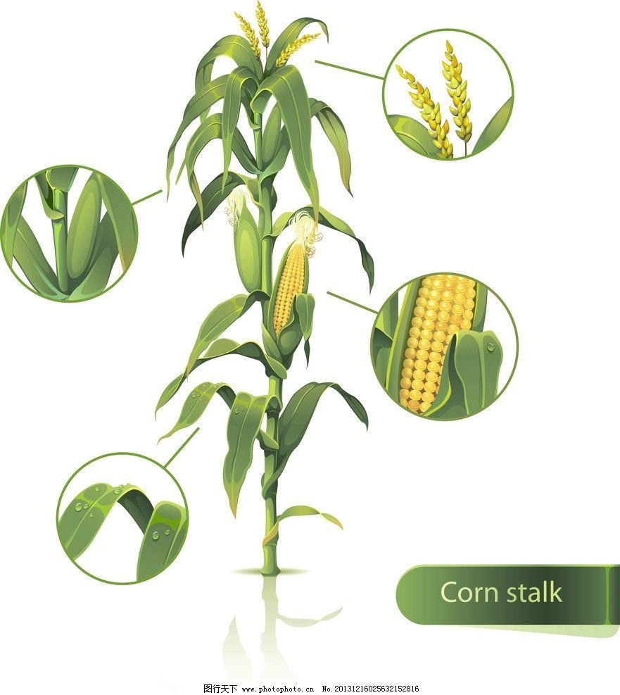玉米 矢量玉米 绿叶 餐饮美食 手绘 生活百科 eps 生物世界 餐饮美食