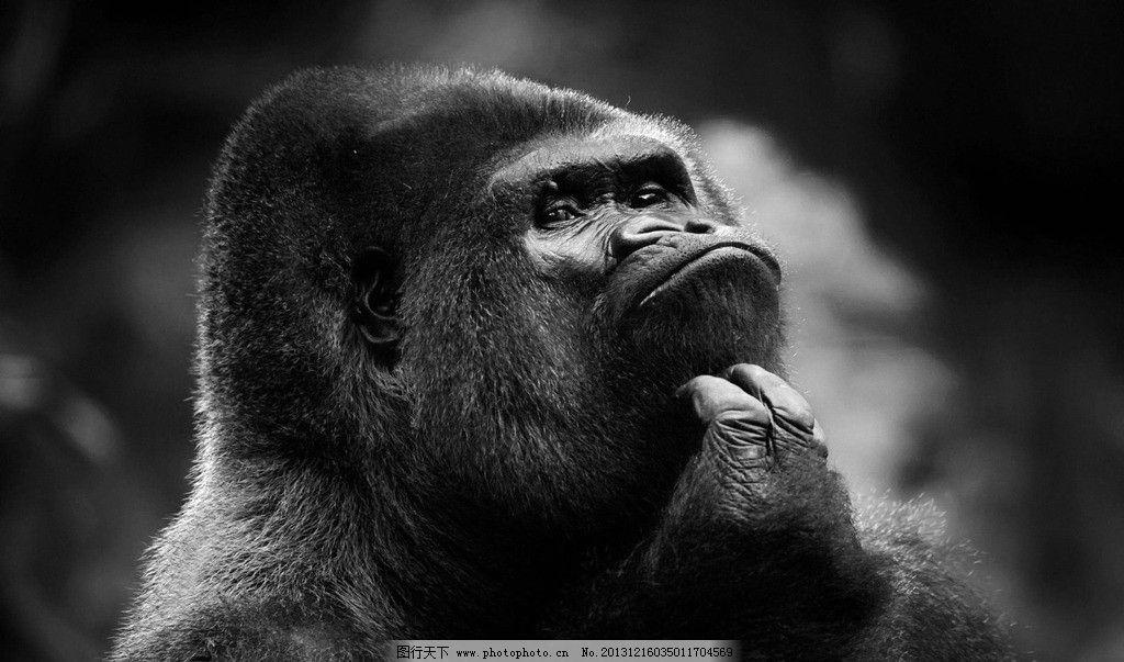 猩猩 黑猩猩 大猩猩 动作 黑白照片 野生动物 生物世界 摄影