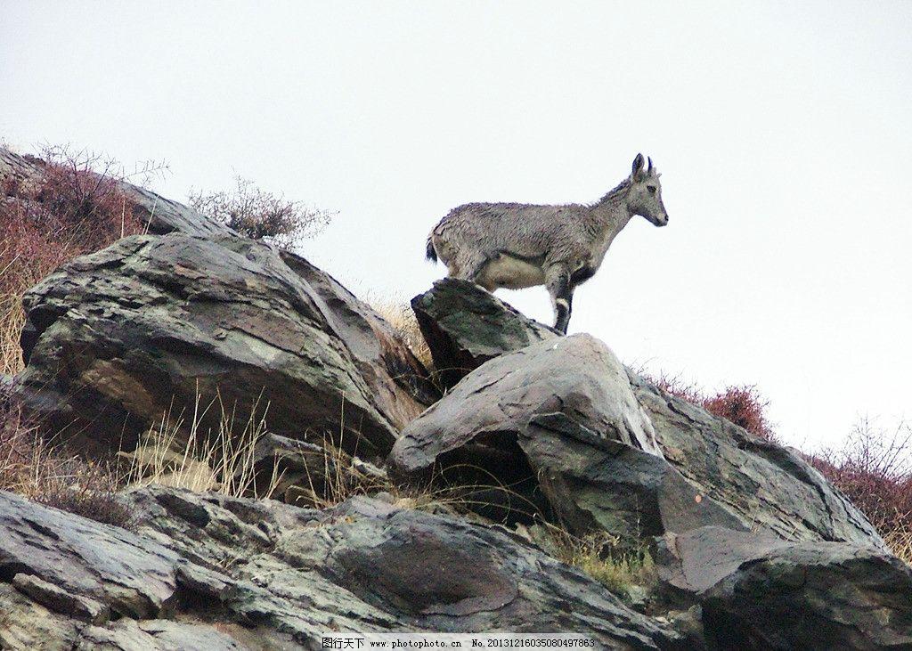 岩羊 贺兰山 野生动物 国家保护动物 生物世界 摄影