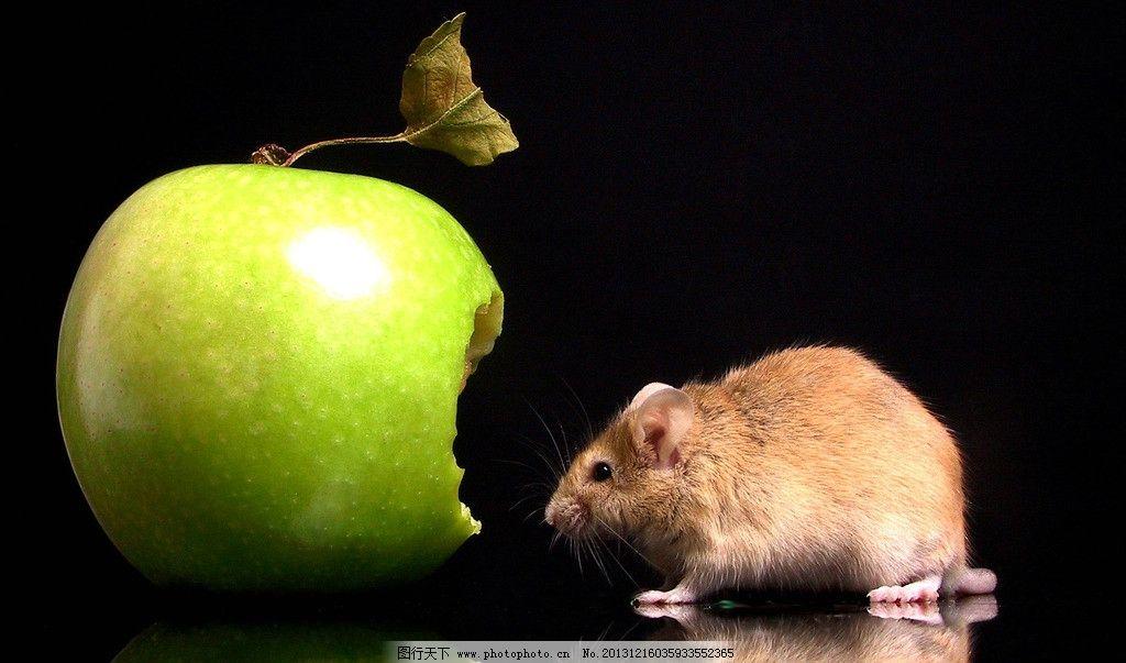 老鼠 苹果 可爱 造型 微距 吃苹果 小老鼠 宠物 家禽家畜 生物世界