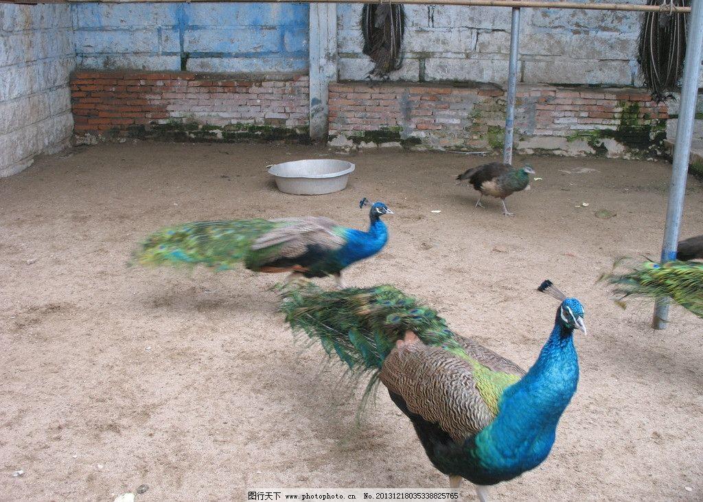 孔雀 泉州东湖公园 动物园 蓝孔雀 鸟 越鸟 鸟类 生物世界 摄影