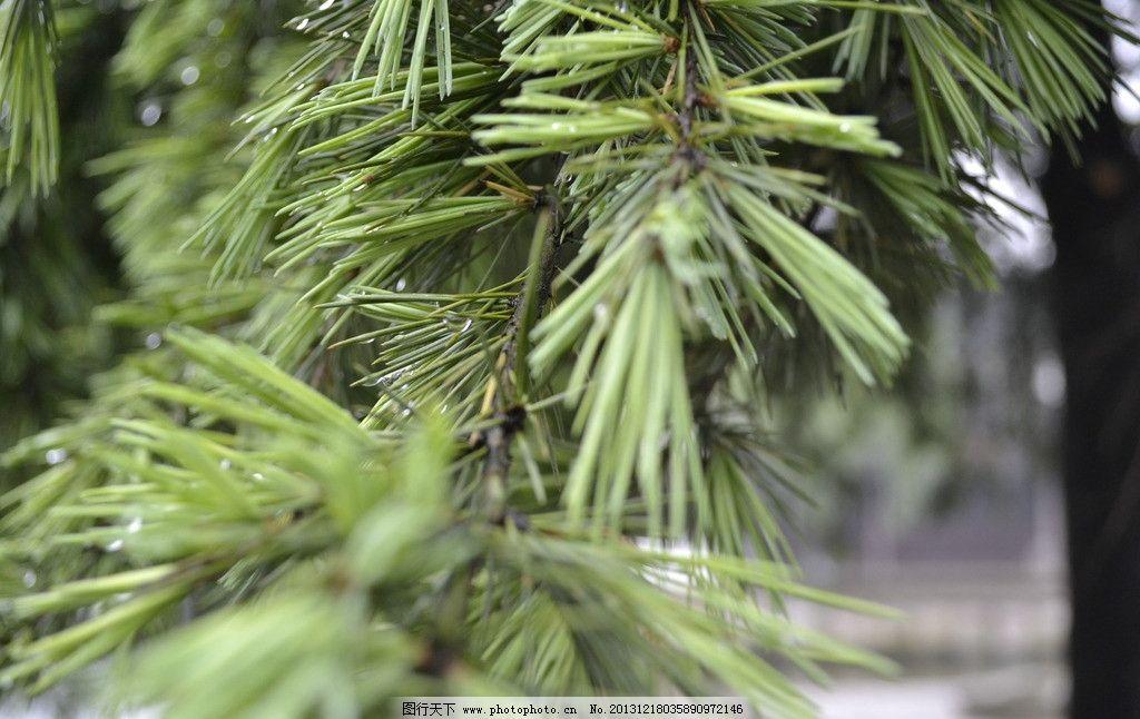 针叶 植物 针树 绿色 原创 树木树叶 生物世界 摄影 300dpi jpg