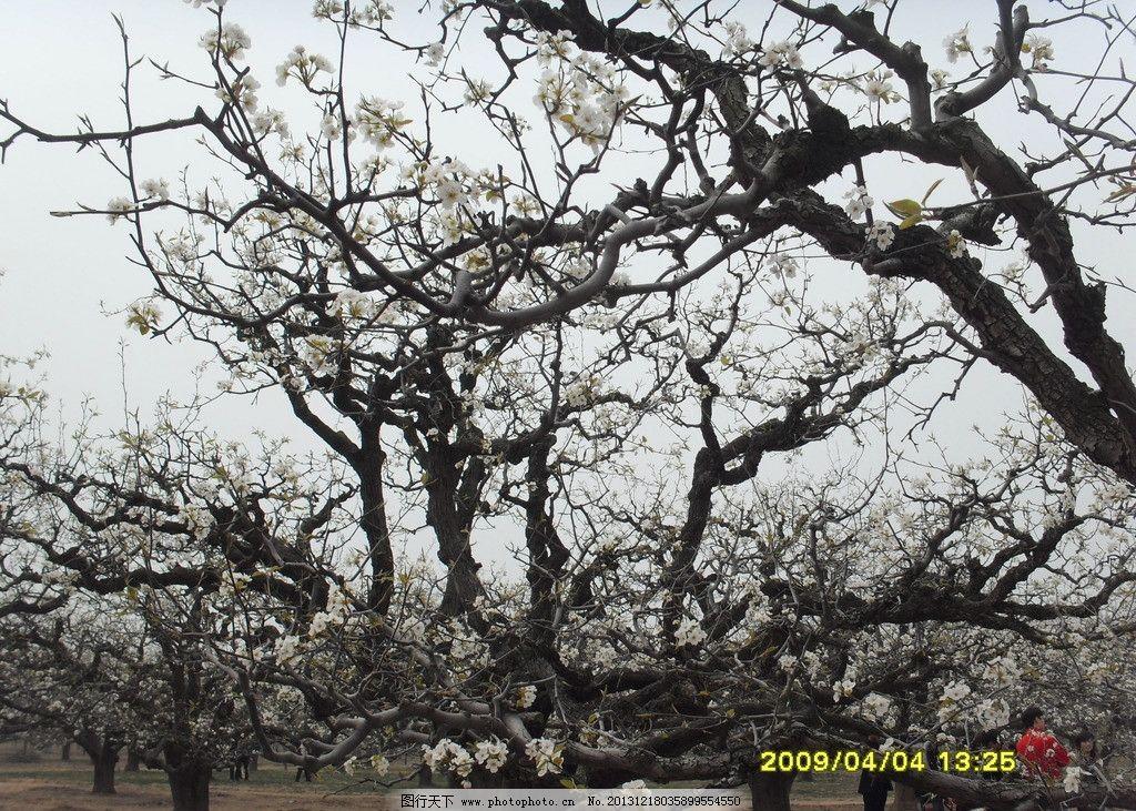 砀山老梨树 梨花 梨树 植物 梨花节 老梨树 树木树叶 生物世界 摄影
