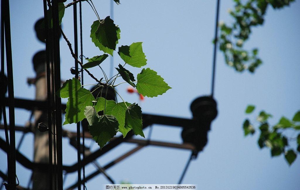 杨树叶 叶子 叶片 杨叶 绿叶 树木 自然风景 自然景观 摄影