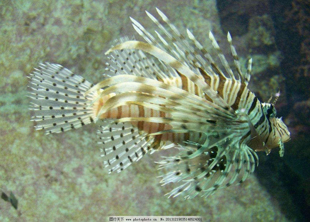 狮子鱼 海底世界 海洋 鱼 动物 海洋生物 生物世界 摄影 230dpi jpg