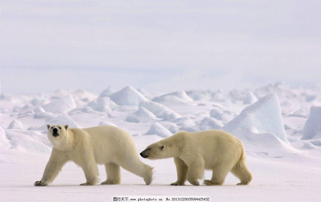 北极熊 冰雪世界 北极 极地 寒冷 严寒 冰山 冰雪 动物 生物 熊类