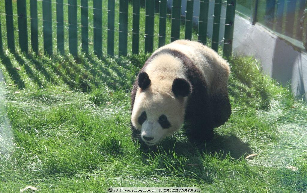 大熊猫 动物园 大连 熊猫馆 国宝 野生动物 生物世界 摄影 72dpi jpg