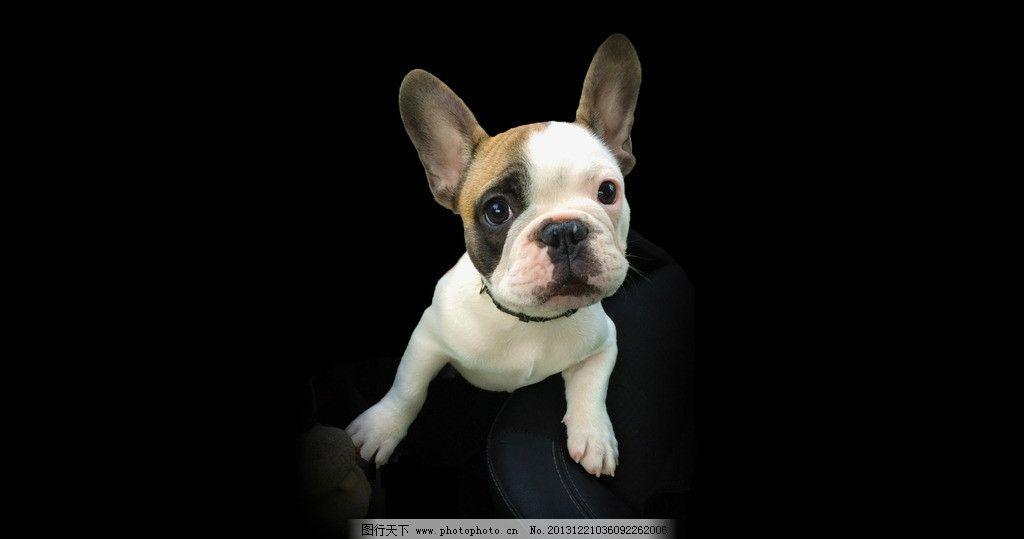 小狗 斗牛犬 可爱 超萌 凝视 大眼睛 其他生物 生物世界 摄影 72dpi
