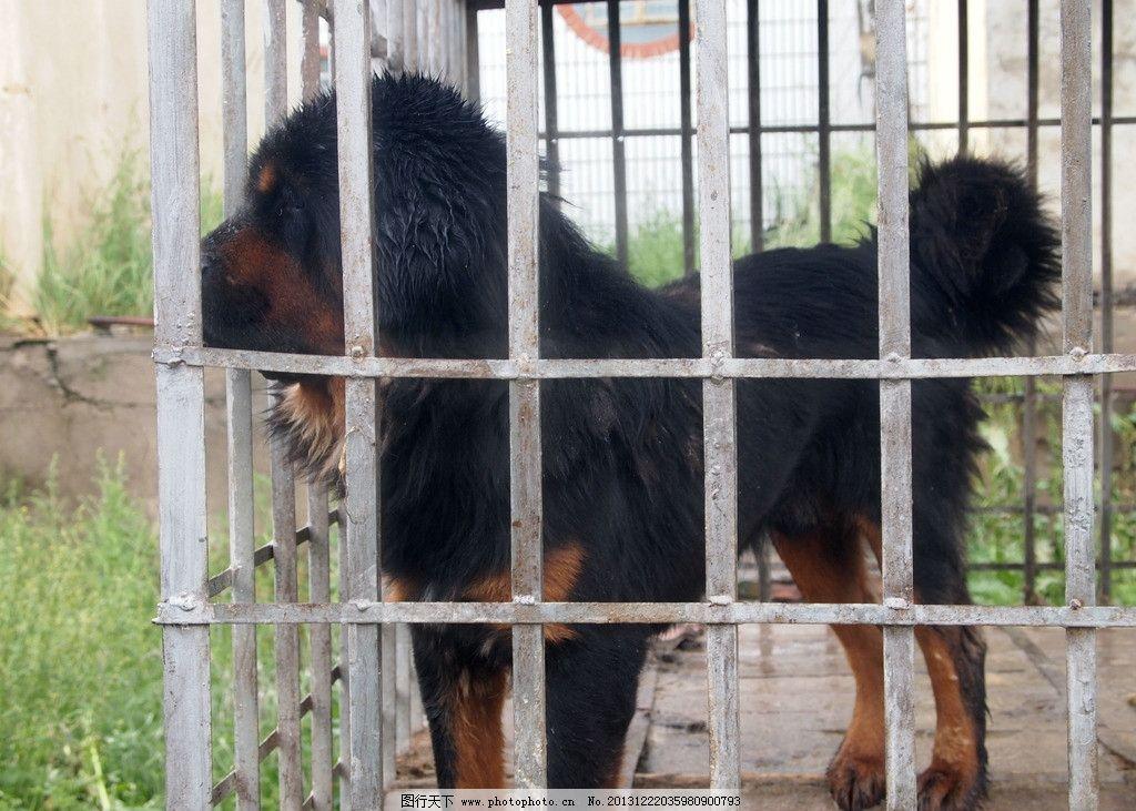 藏鳌 笼子 天空 杂草 地面 动物 家禽家畜 生物世界 摄影 314dpi jpg